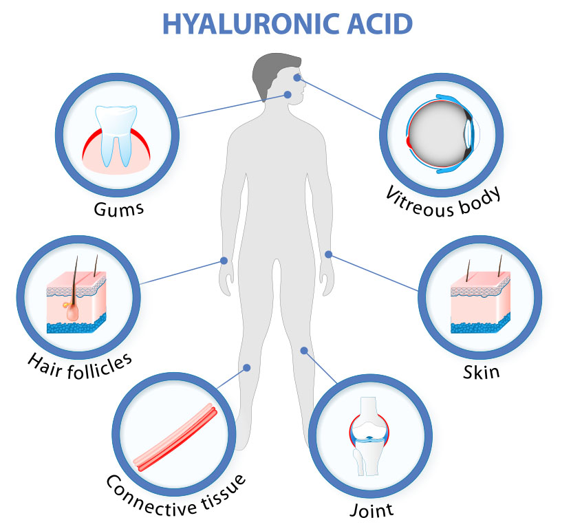 Hyaluronic Acid found in gums, vitreous body, hair follicles, connective tissue, joint, skin