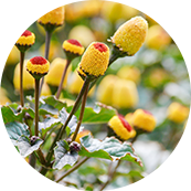 Spilanthes Acmella Flower